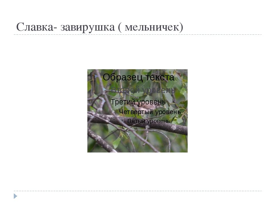 Славка- завирушка ( мельничек)