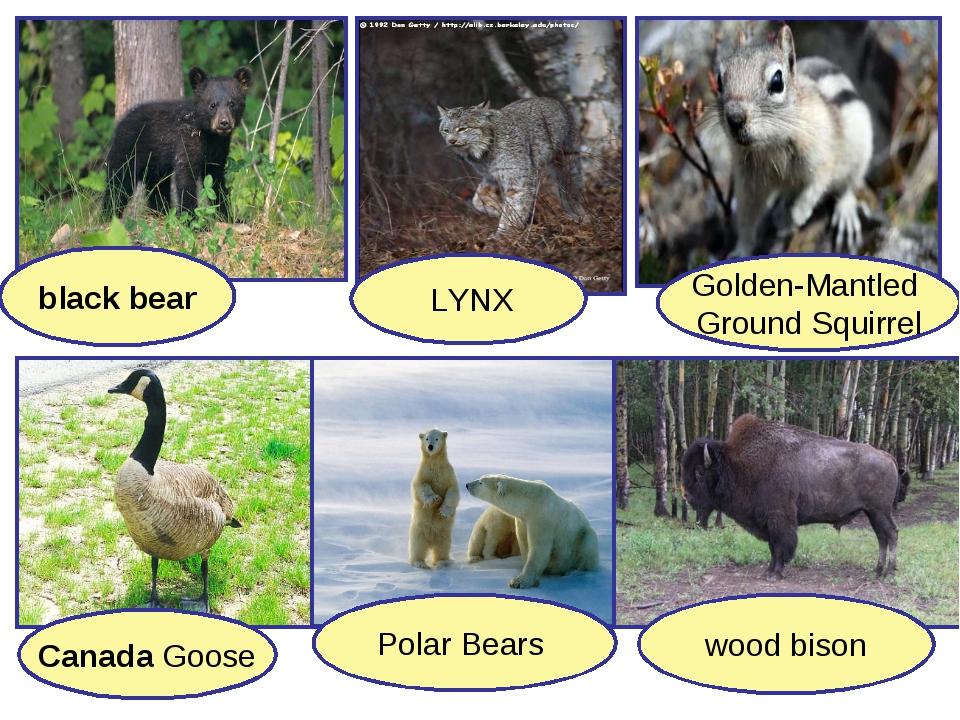 Canada Goose LYNX black bear Golden-Mantled Ground Squirrel Polar Bears wood...