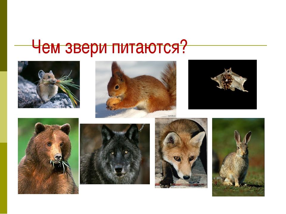 Чем звери питаются?