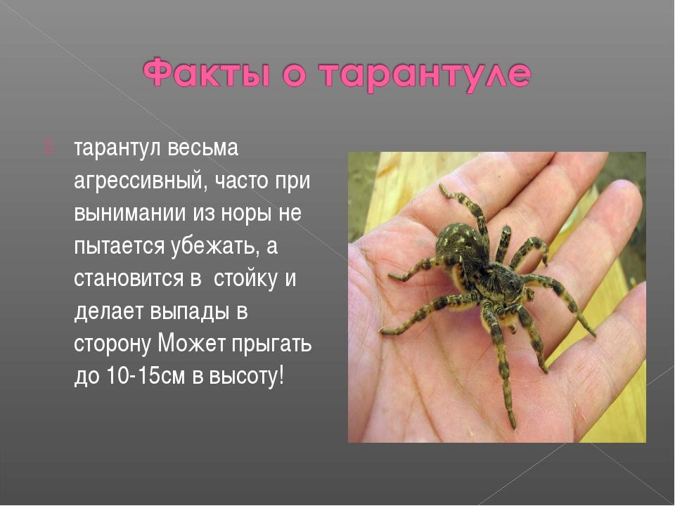 тарантул весьма агрессивный, часто при вынимании из норы не пытается убежать,...