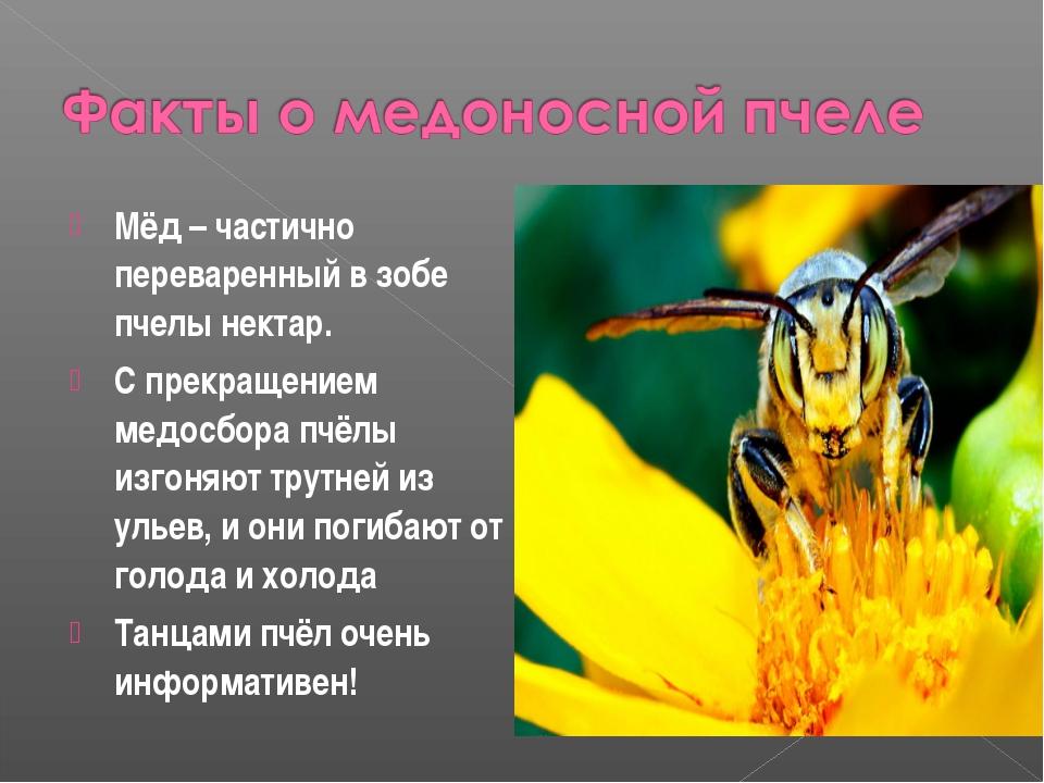 Мёд – частично переваренный в зобе пчелы нектар. С прекращением медосбора пчё...