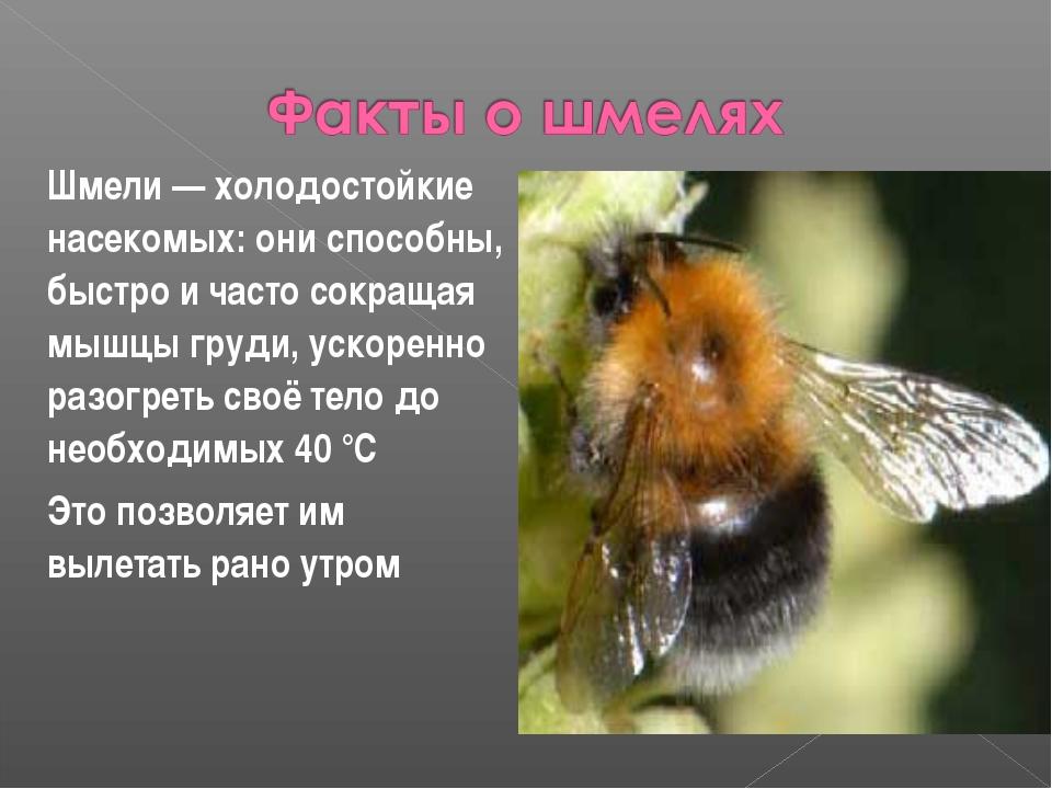 Шмели — холодостойкие насекомых: они способны, быстро и часто сокращая мышцы...
