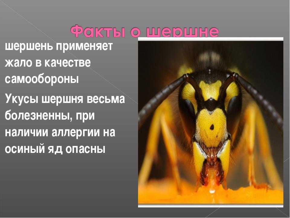 шершень применяет жало в качестве самообороны Укусы шершня весьма болезненны,...