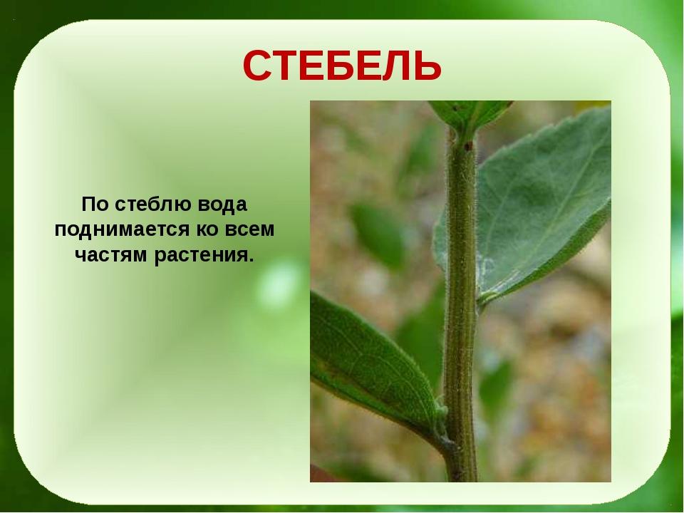 СТЕБЕЛЬ По стеблю вода поднимается ко всем частям растения.