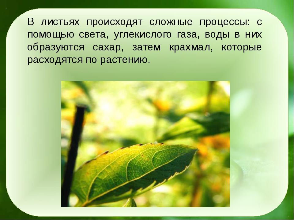 В листьях происходят сложные процессы: с помощью света, углекислого газа, вод...