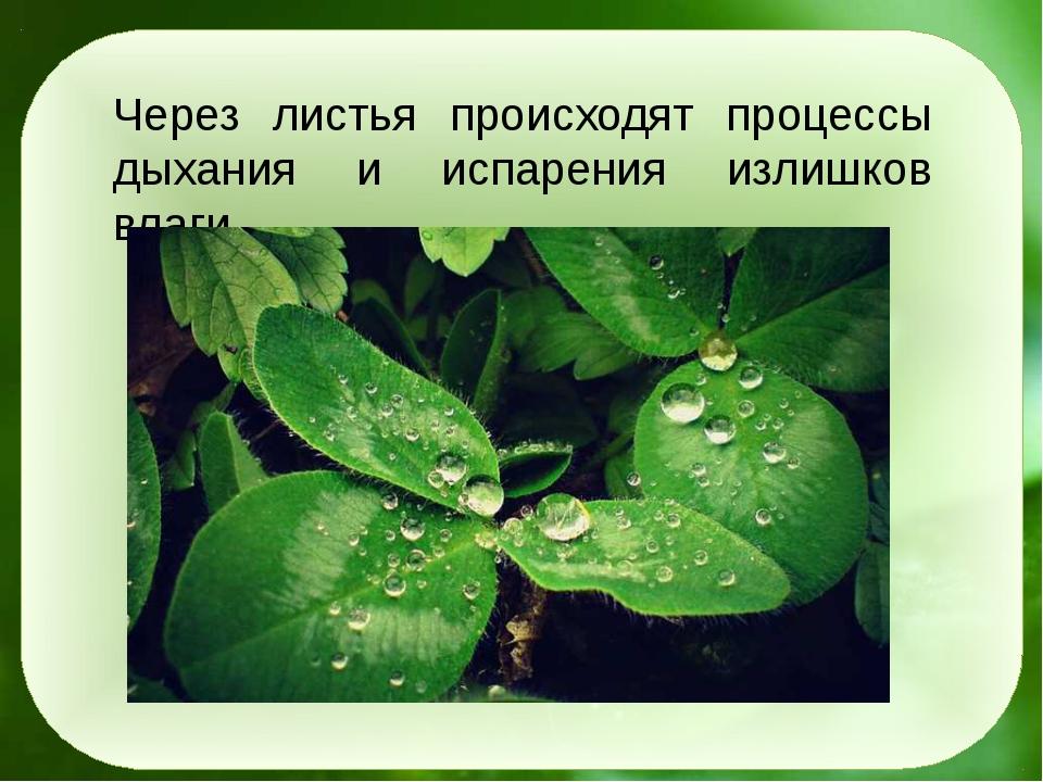 Через листья происходят процессы дыхания и испарения излишков влаги.