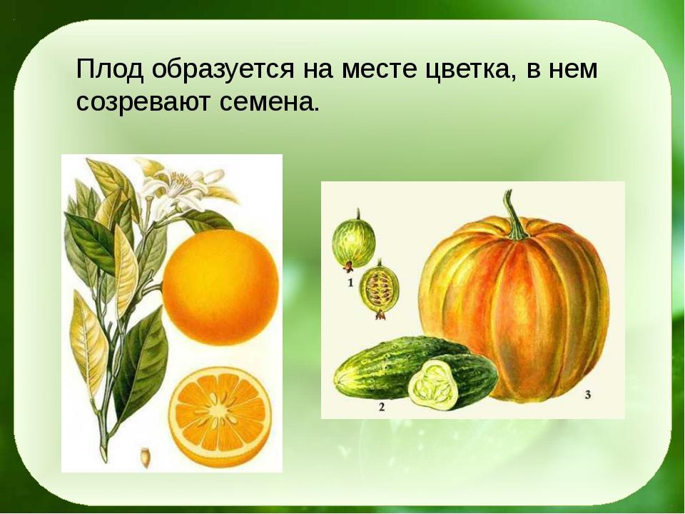 Плод образуется на месте цветка, в нем созревают семена.
