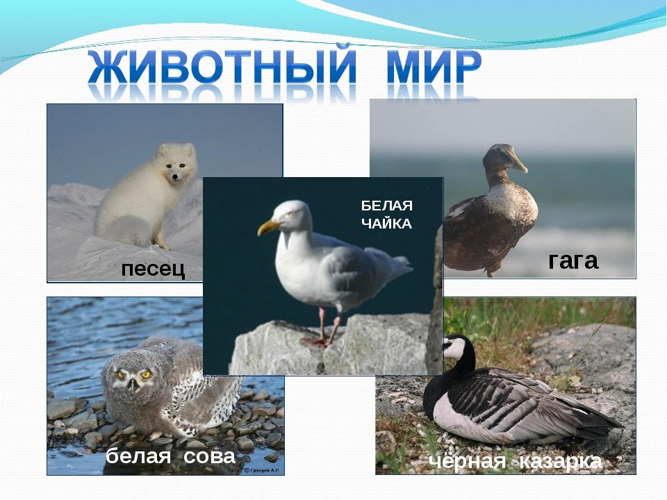 песец белая сова гага чёрная казарка БЕЛАЯ ЧАЙКА