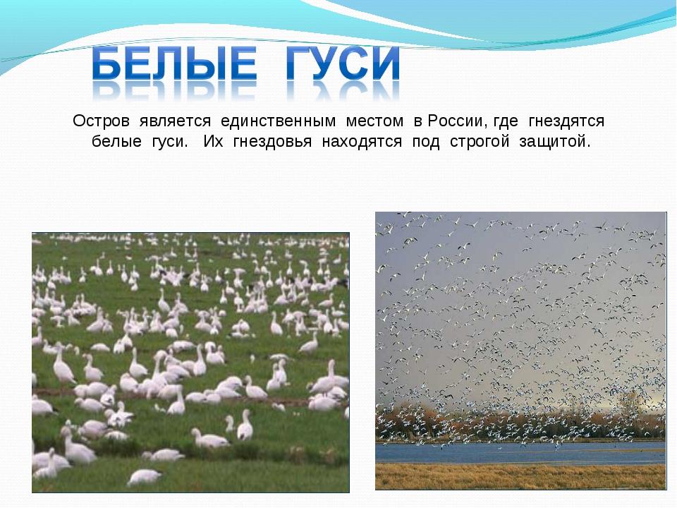 Остров является единственным местом в России, где гнездятся белые гуси. Их гн...