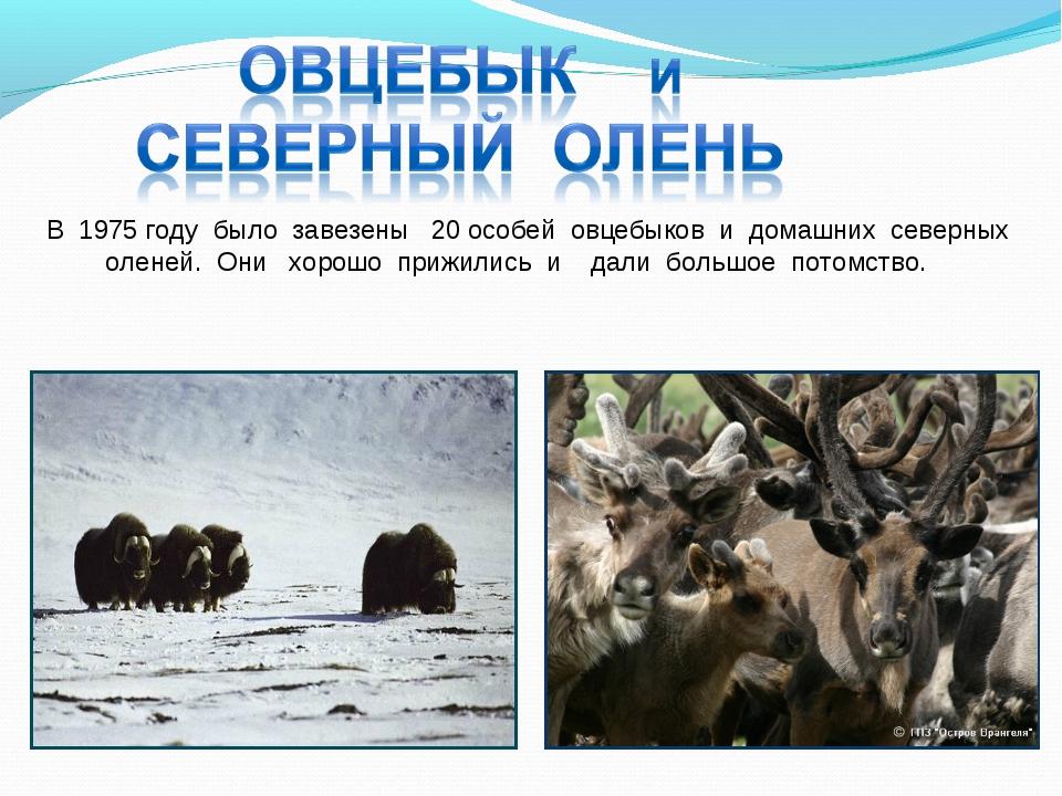 В 1975 году было завезены 20 особей овцебыков и домашних северных оленей. Они...