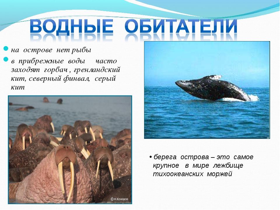 на острове нет рыбы в прибрежные воды часто заходят горбач , гренландский кит...