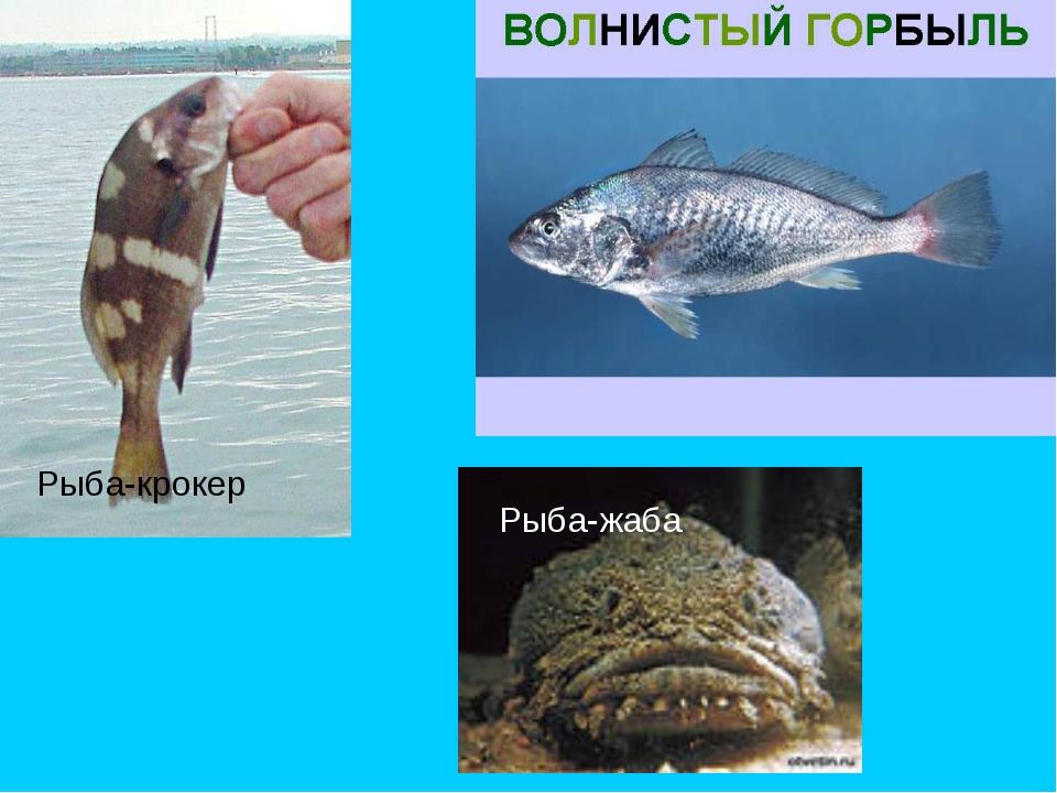 Рыба-жаба Рыба-крокер