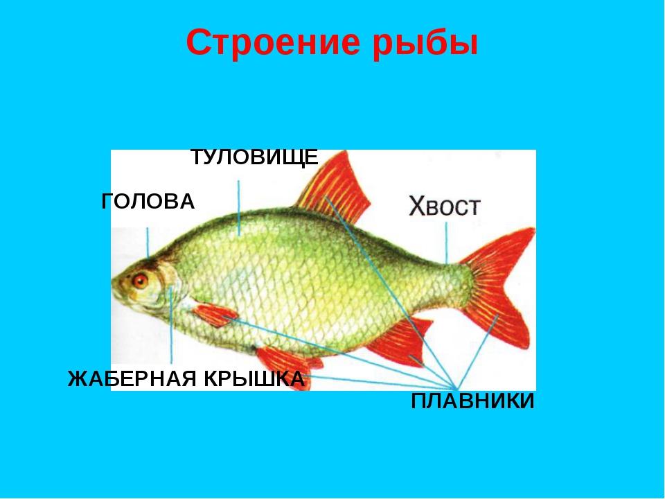 Строение рыбы ТУЛОВИЩЕ ПЛАВНИКИ ГОЛОВА ЖАБЕРНАЯ КРЫШКА