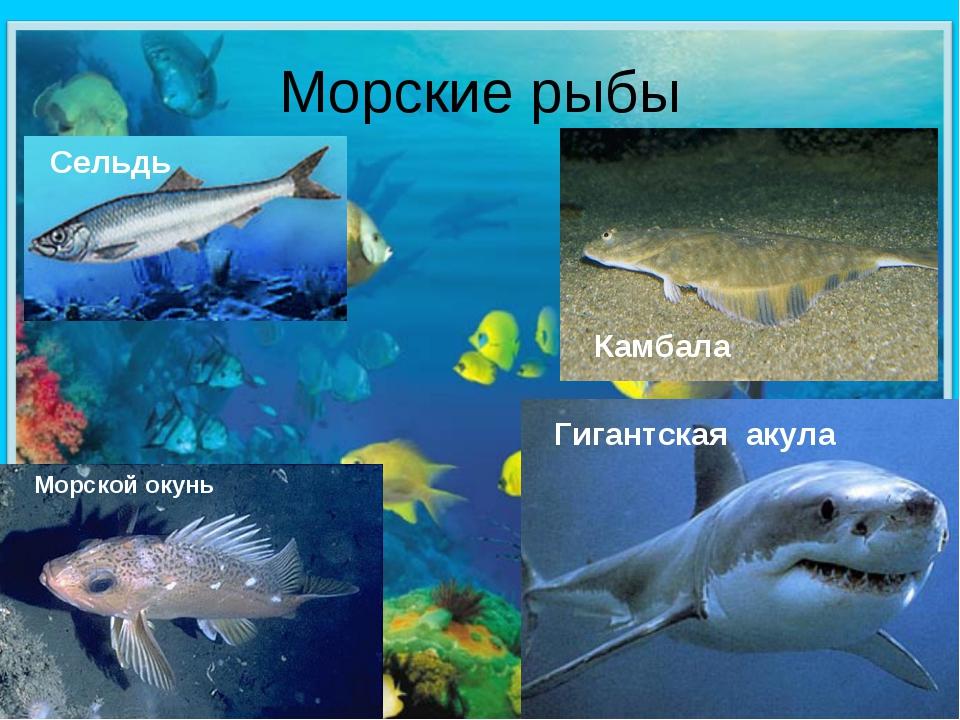 Морские рыбы Сельдь Гигантская акула Морской окунь Камбала