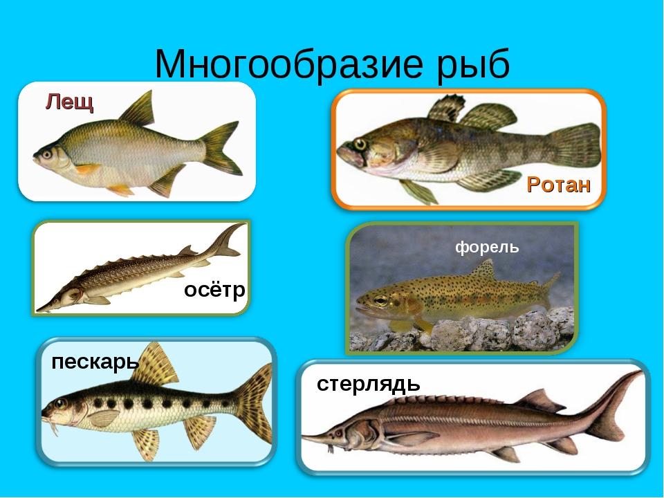 Многообразие рыб Лещ Ротан осётр форель пескарь стерлядь