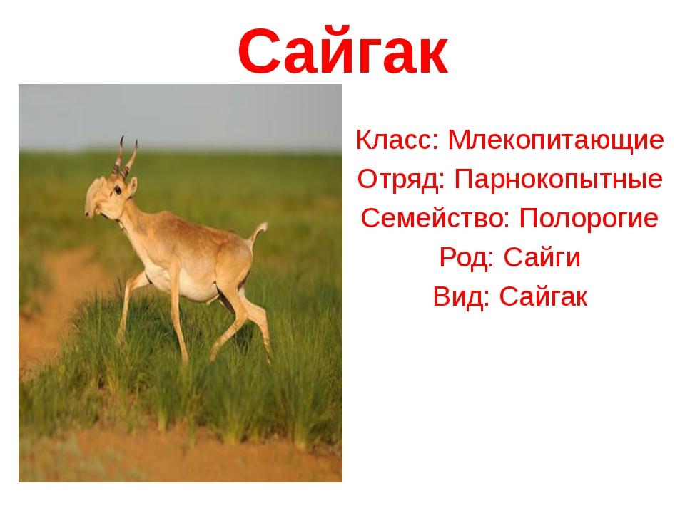 Сайгак Класс:Млекопитающие Отряд:Парнокопытные Семейство:Полорогие Род:Са...