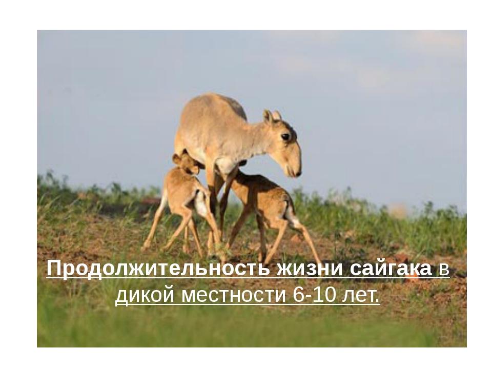 Продолжительность жизни сайгакав дикой местности 6-10 лет.