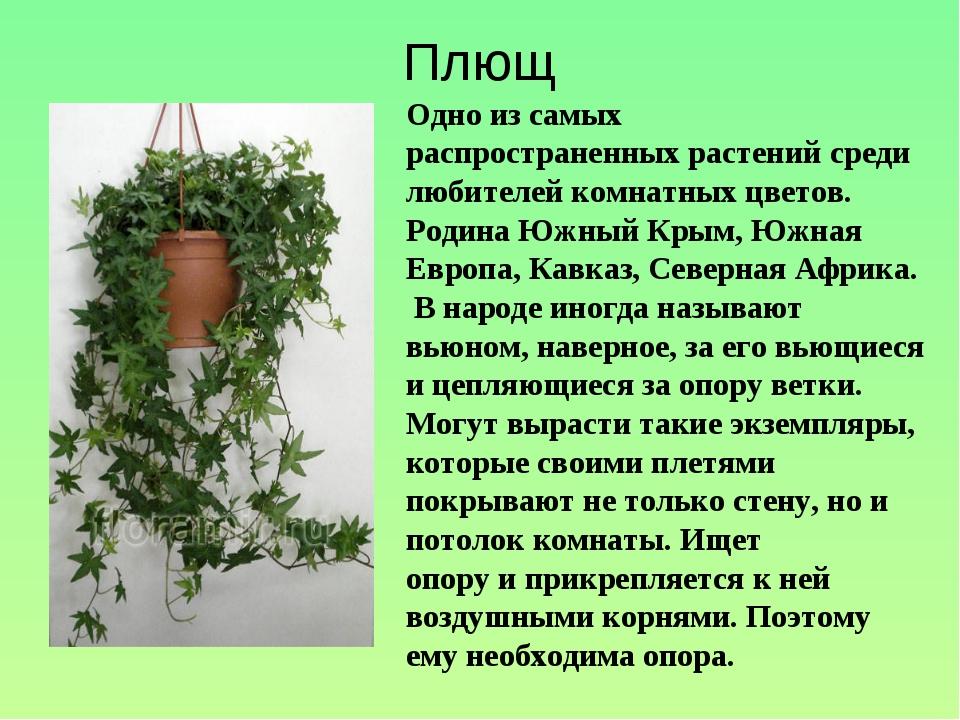Плющ Одно из самых распространенных растений среди любителей комнатных цветов...