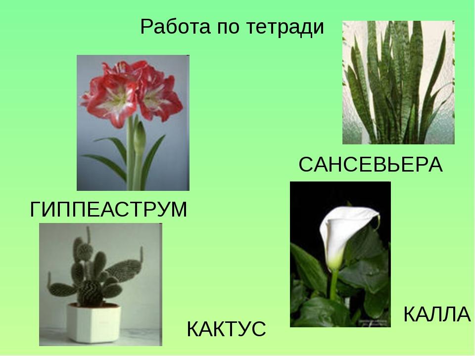 Работа по тетради КАЛЛА ГИППЕАСТРУМ САНСЕВЬЕРА КАКТУС