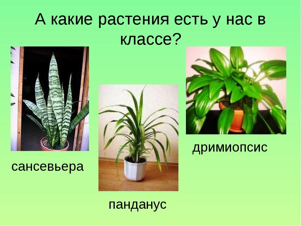 А какие растения есть у нас в классе? сансевьера дримиопсис панданус