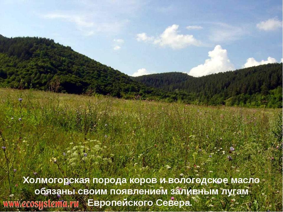Холмогорская порода коров и вологодское масло обязаны своим появлением заливн...
