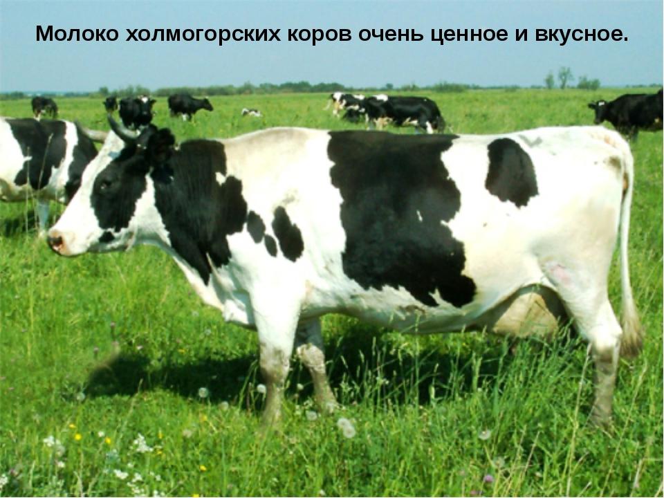 Молоко холмогорских коров очень ценное и вкусное.