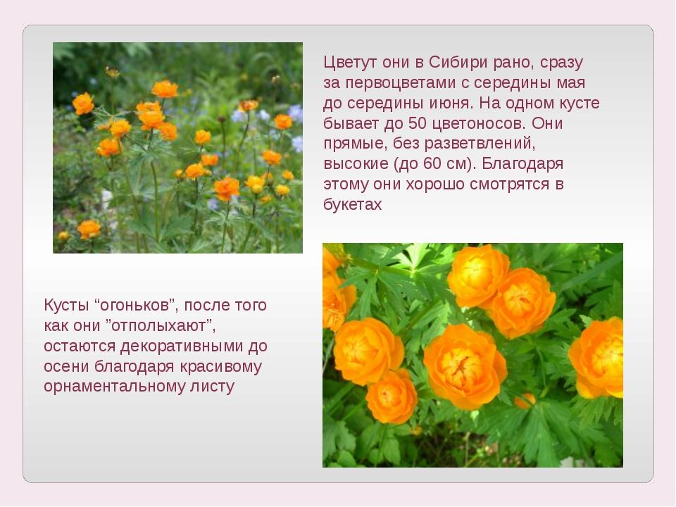 Цветут они в Сибири рано, сразу за первоцветами с середины мая до середины ию...