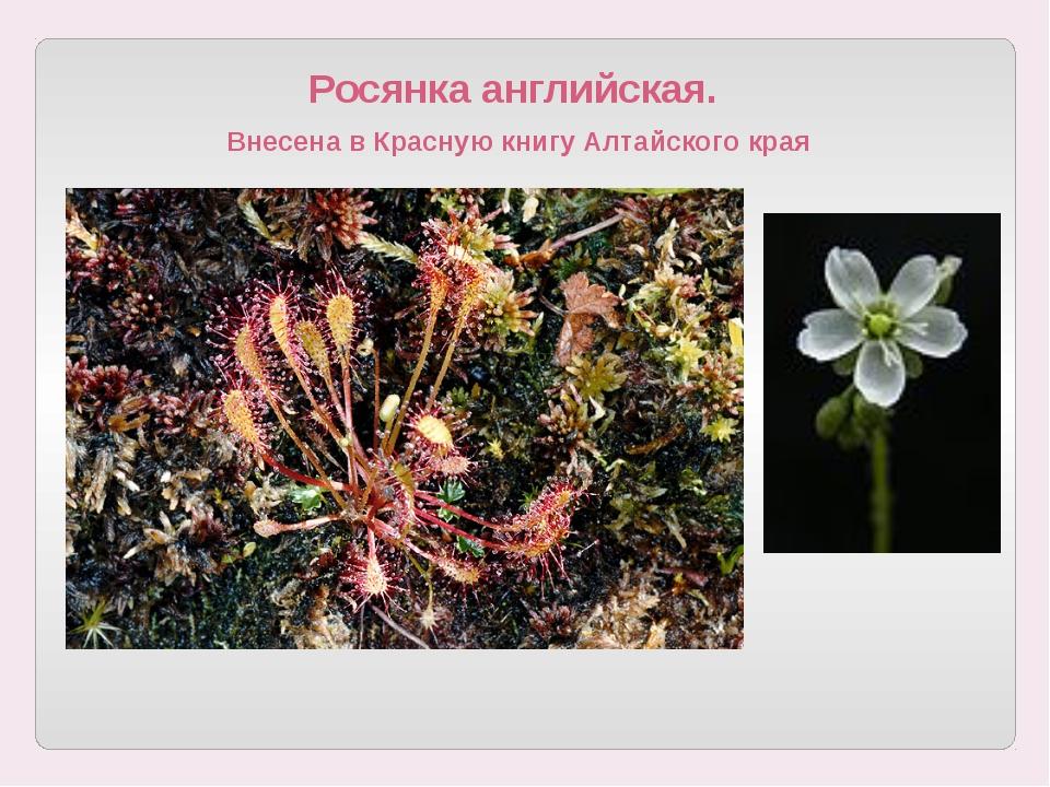 Росянка английская. Внесена в Красную книгу Алтайского края