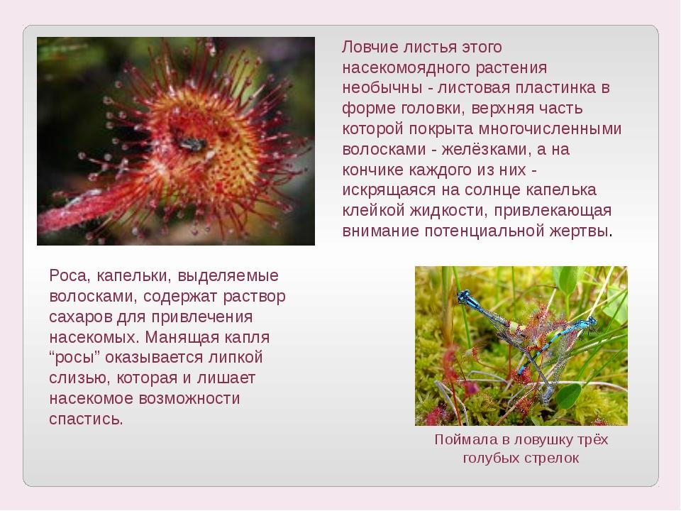 Ловчие листья этого насекомоядного растения необычны - листовая пластинка в ф...