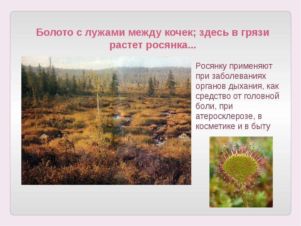 Болото с лужами между кочек; здесь в грязи растет росянка... Росянку применяю...