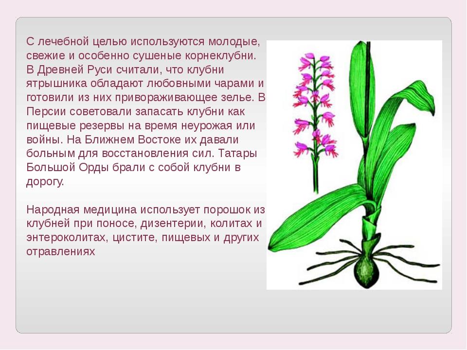 С лечебной целью используются молодые, свежие и особенно сушеные корнеклубни....
