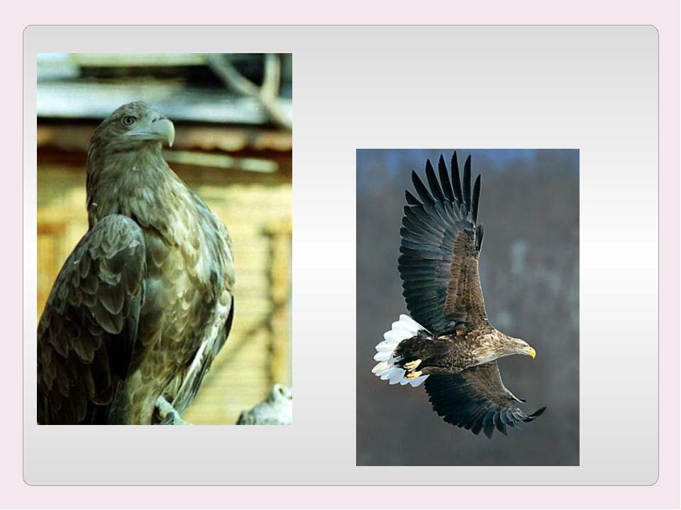 Орлан-белохвост. Внесен в Красную книгу Алтайского края