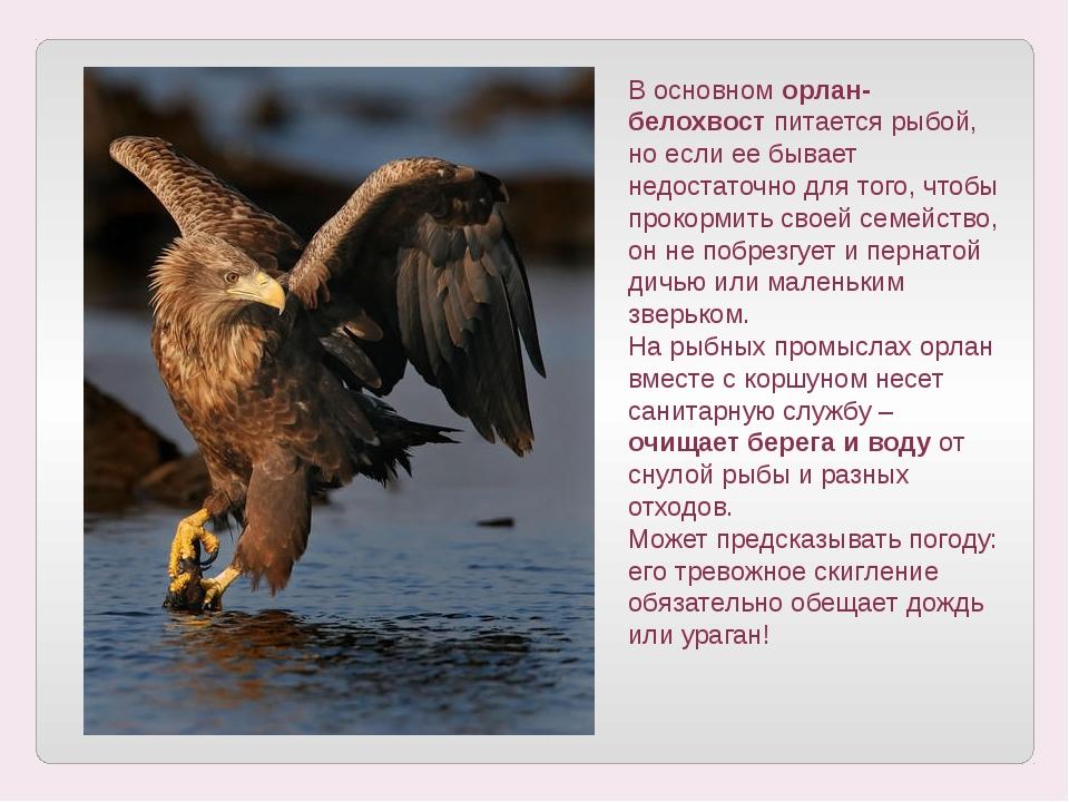 В основном орлан-белохвост питается рыбой, но если ее бывает недостаточно для...