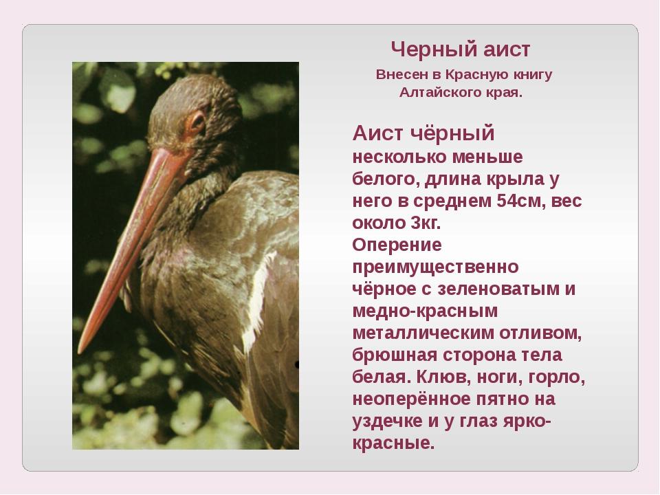 Черный аист Внесен в Красную книгу Алтайского края. Аист чёрный несколько мен...