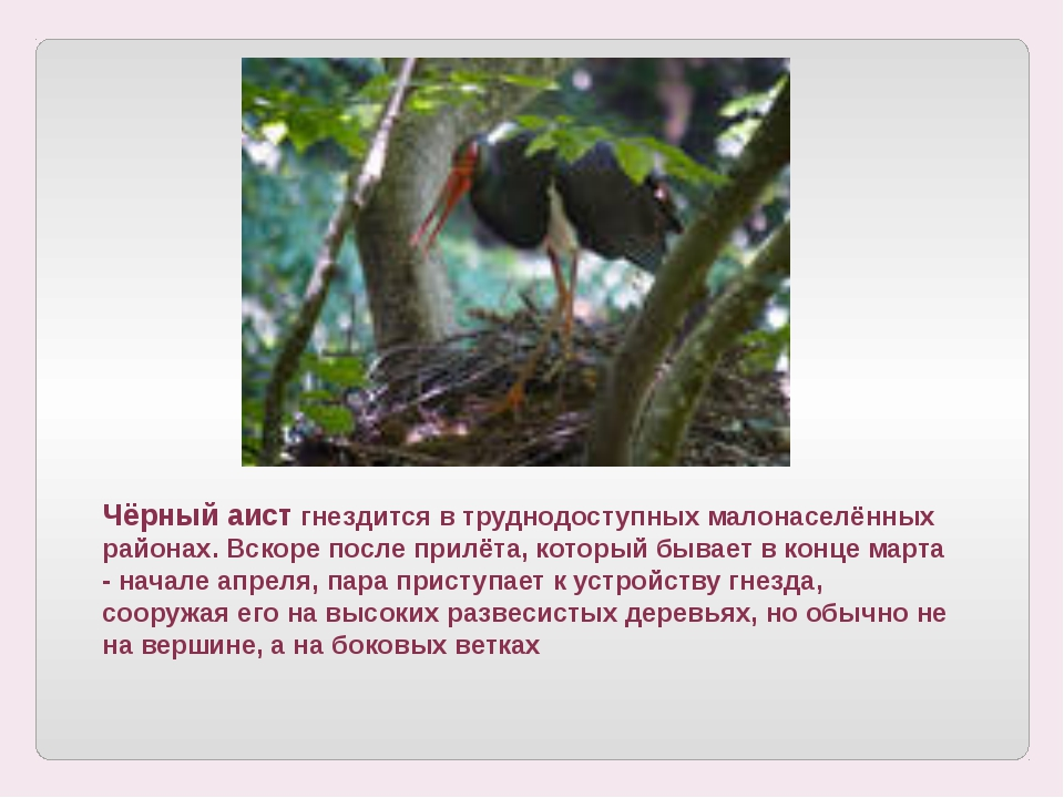 Чёрный аист гнездится в труднодоступных малонаселённых районах. Вскоре после...