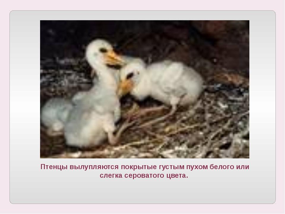 Птенцы вылупляются покрытые густым пухом белого или слегка сероватого цвета.