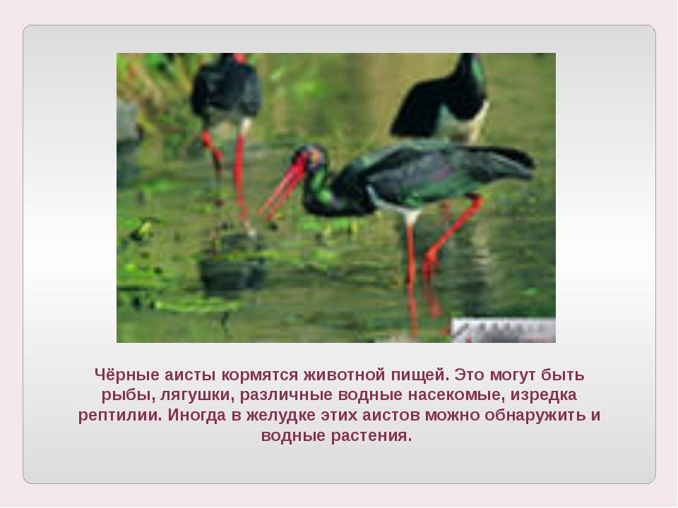 Чёрные аисты кормятся животной пищей. Это могут быть рыбы, лягушки, различные...