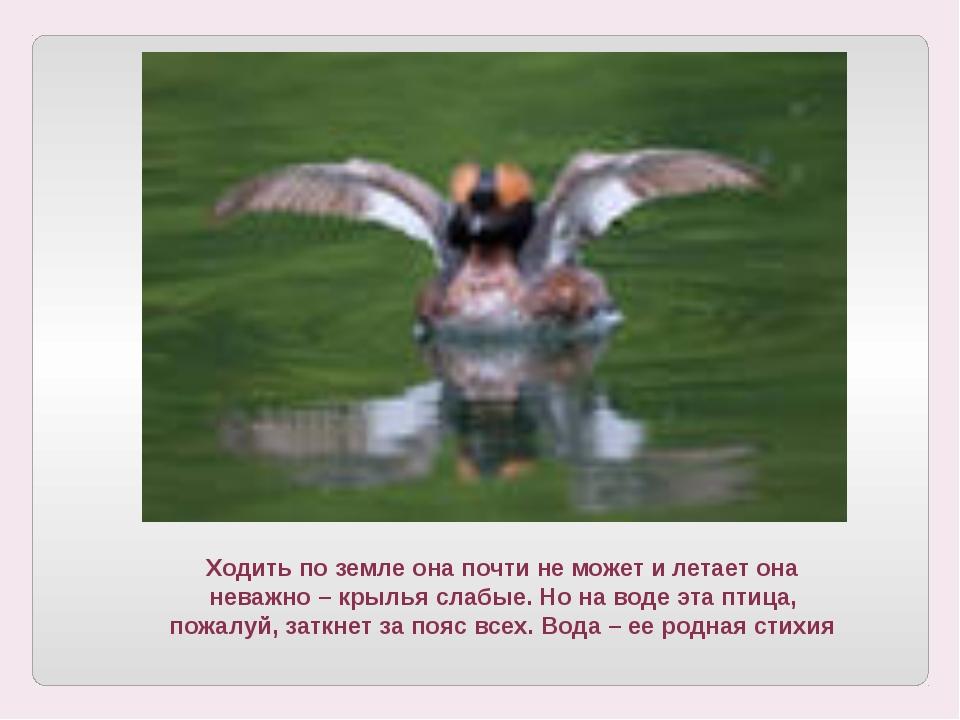 Ходить по земле она почти не может и летает она неважно – крылья слабые. Но н...