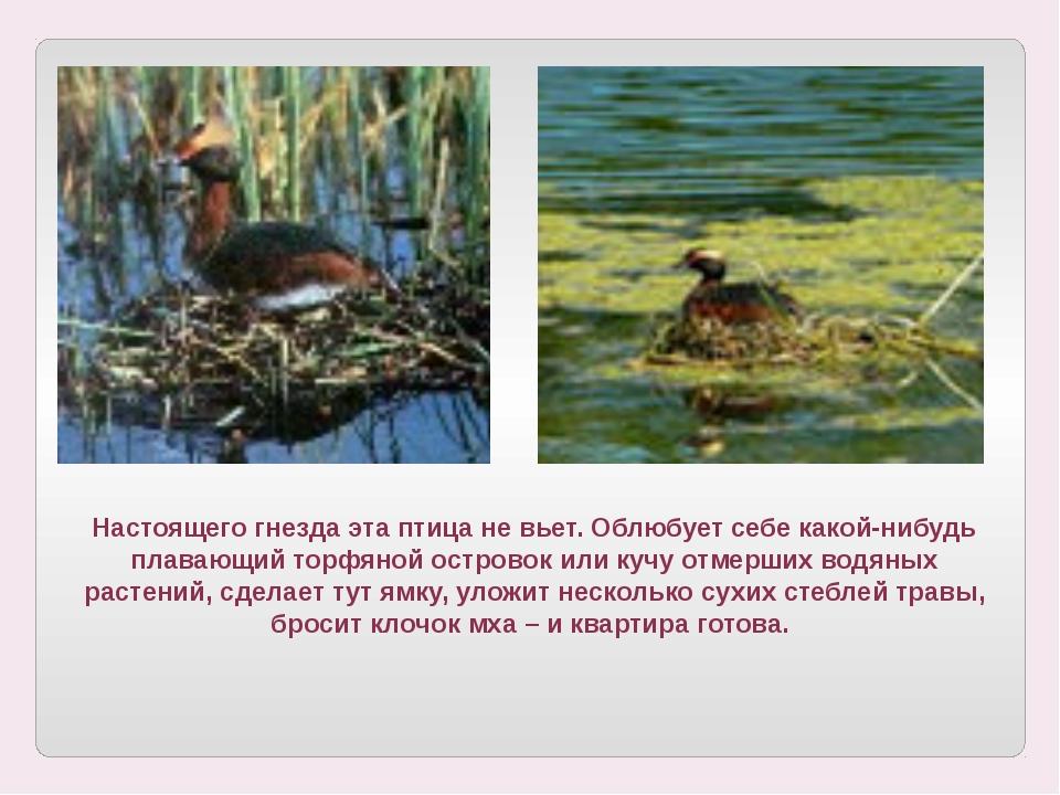 Настоящего гнезда эта птица не вьет. Облюбует себе какой-нибудь плавающий тор...