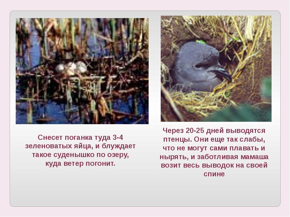 Через 20-25 дней выводятся птенцы. Они еще так слабы, что не могут сами плава...