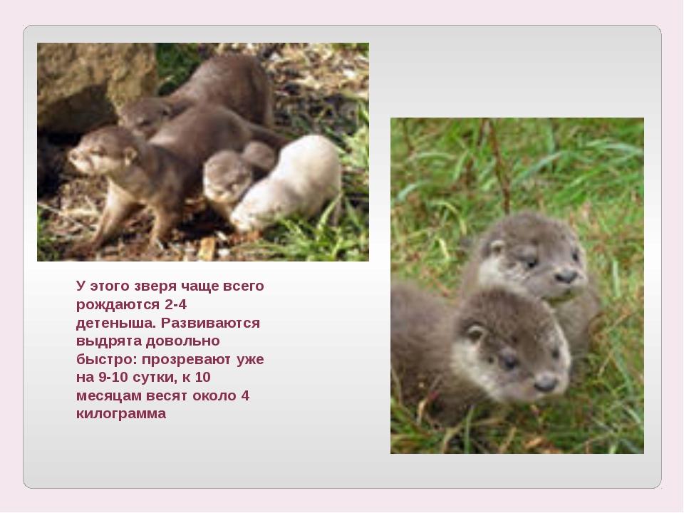У этого зверя чаще всего рождаются 2-4 детеныша. Развиваются выдрята довольно...