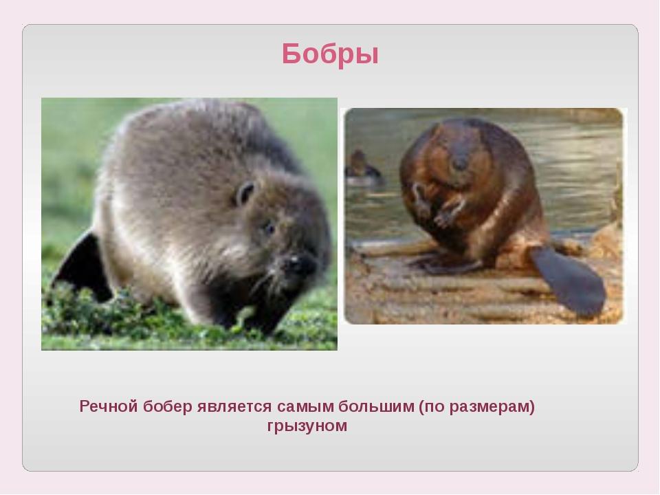 Бобры Речной бобер является самым большим (по размерам) грызуном