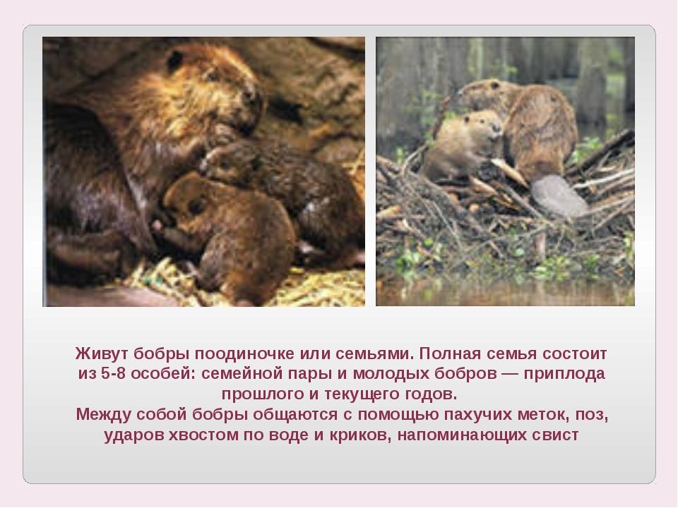 Живут бобры поодиночке или семьями. Полная семья состоит из 5-8 особей: семей...