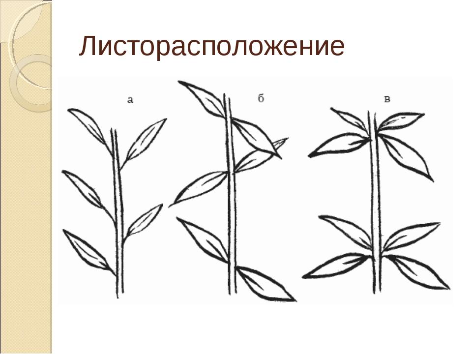 листорасположение у растений в картинках часть