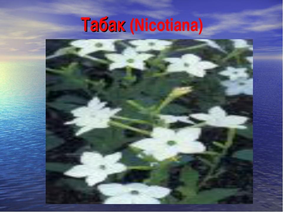 Табак (Nicotiana)