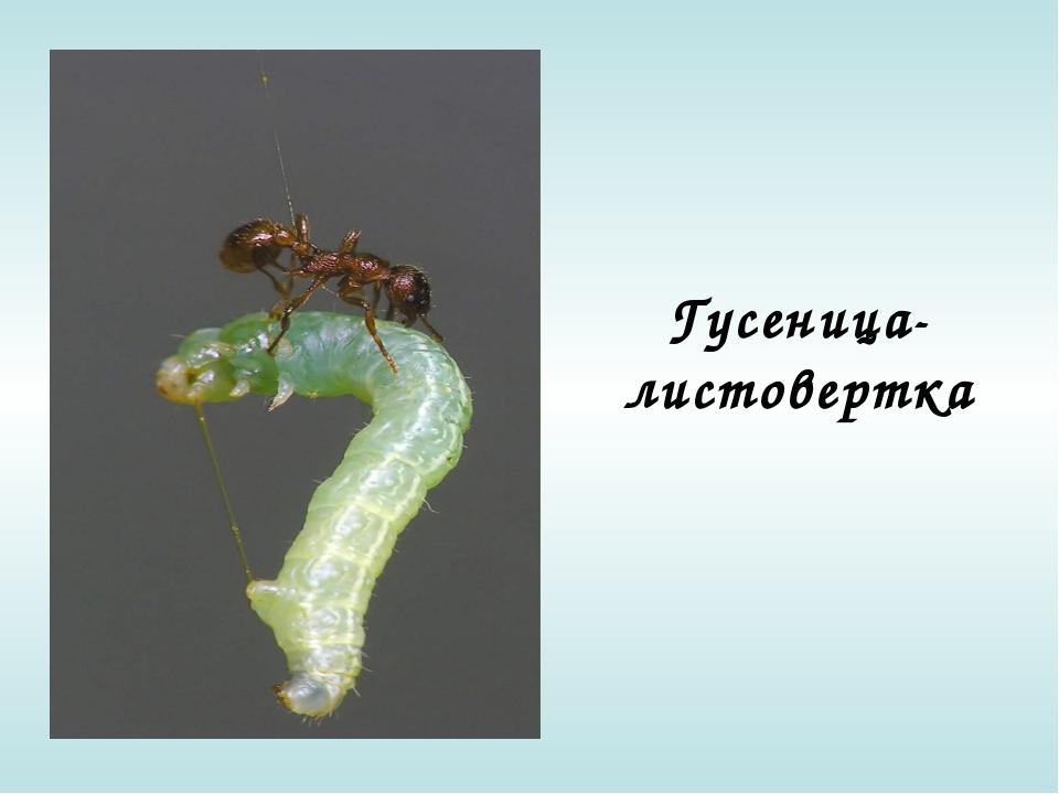 Гусеница-листовертка