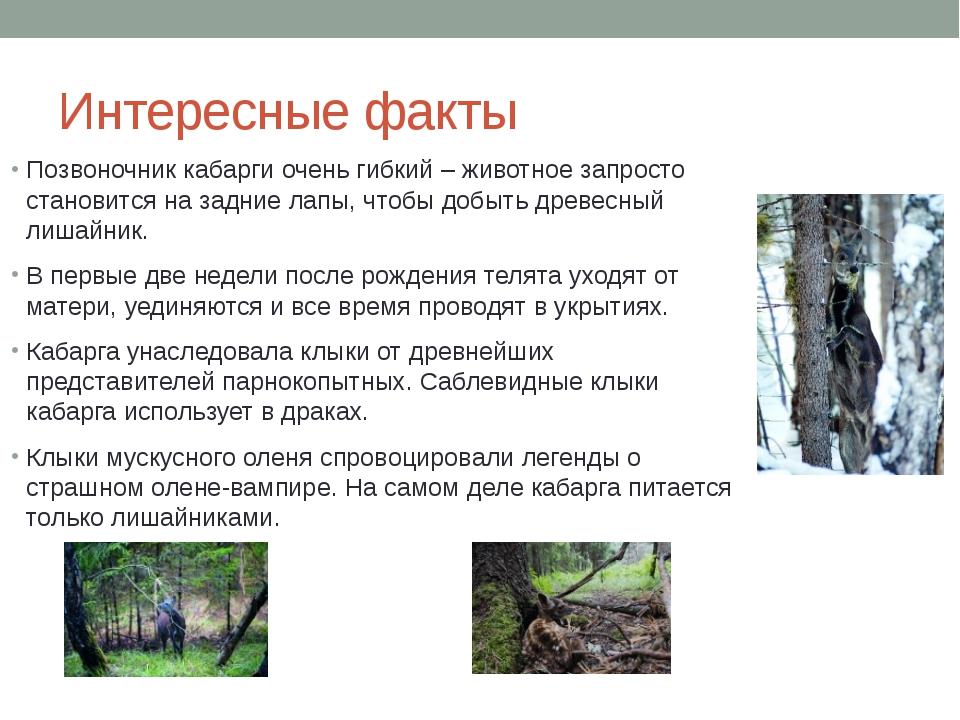 Интересные факты Позвоночник кабарги очень гибкий – животное запросто станови...