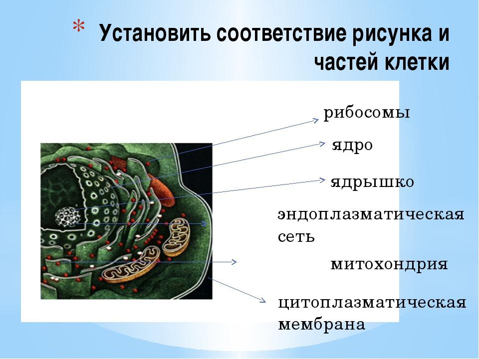 Установить соответствие рисунка и частей клетки рибосомы ядро ядрышко эндопла...