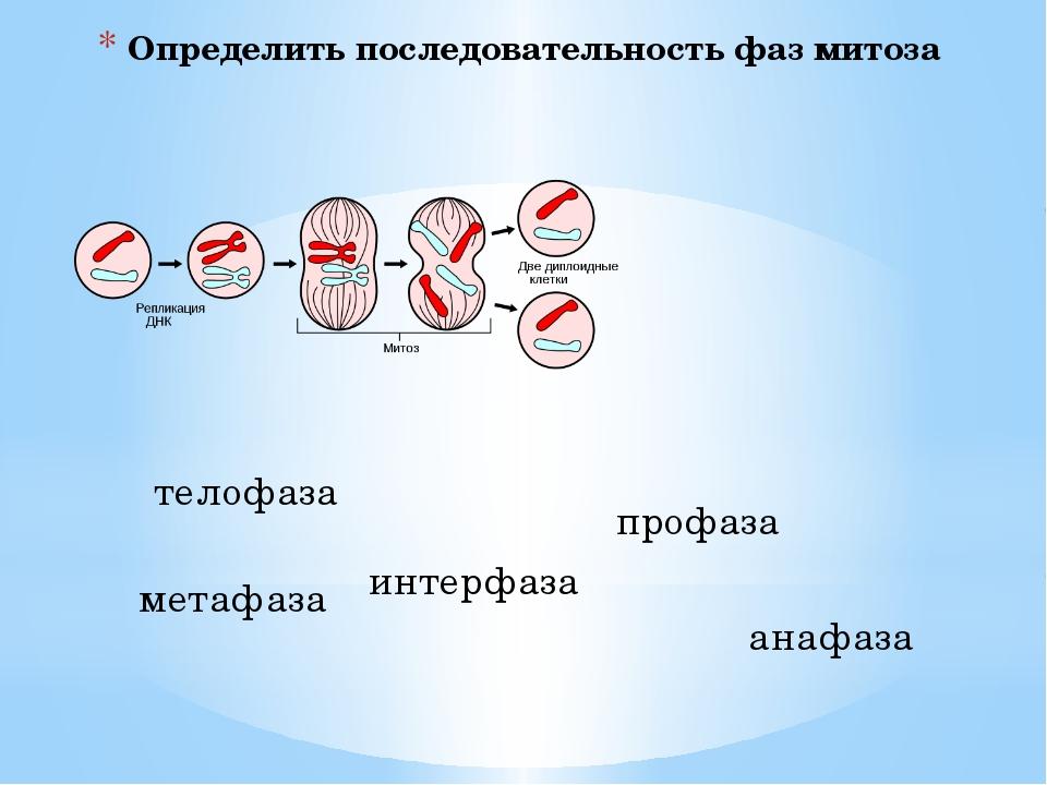 Определить последовательность фаз митоза телофаза метафаза интерфаза профаза...