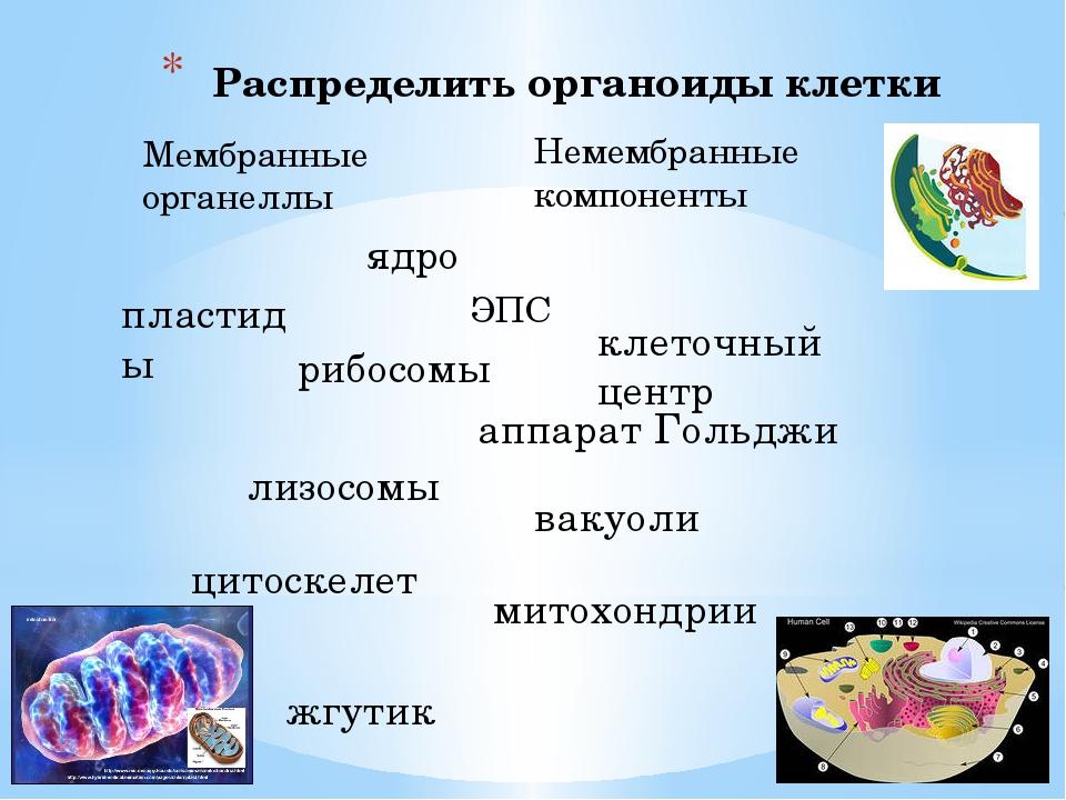 Распределить органоиды клетки Мембранные органеллы Немембранные компоненты яд...